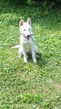 Siberian Husky puppy for sale in GREENWOOD, IN. ADN-49346 on PuppyFinder.com Gender: Female. Age: 7 Months Old