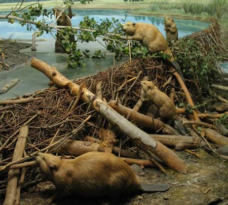 Beaver habitat diorama at the los angeles natural history museum 2013 holidays inspiration for Construction habitat