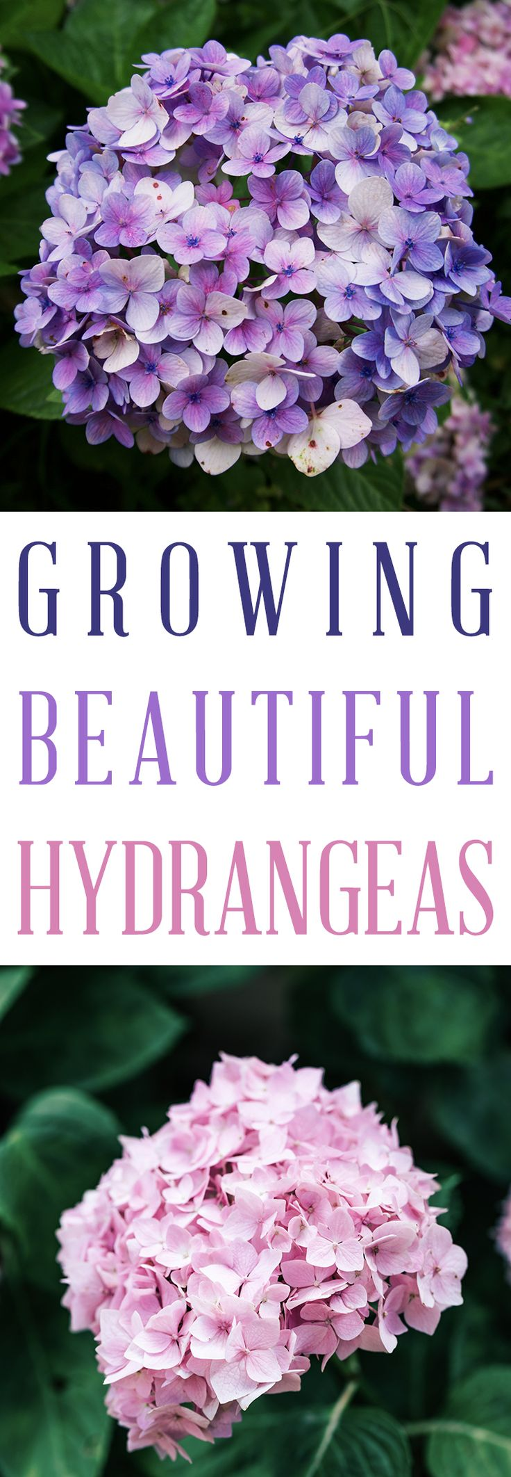 Growing Beautiful Hydrangeas on The Cottage Market