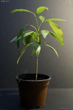 Comment faire pousser des graines ou noyaux de fruits exotiques.--10 fruits tropicaux mangés = 10 plantes tropicales à faire pousser !