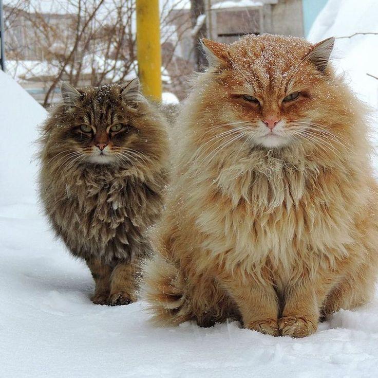 Real siberian cats. Photo by: Alla Lebedeva  Follow us on: - https://goo.gl/NKk858 - Twitter: https://goo.gl/PlLXiR - Pinterest:https://goo.gl/9NIzFX - Facebook:https://goo.gl/Y7XnNU  #instacat #russianminiatures #pets #petsagram  #cat#cats #catsofinsta #catsofinstagram #catstagram#cutecat  #catoftheday #lovecats #kitty #bengal#cats_of_instagram #dailycat  #bestmeow #kitten#kittensofinstagram #meow #catsareawesome  #loveofmylife#lovekittens #kittenlove #lazycat #котик #kittycat