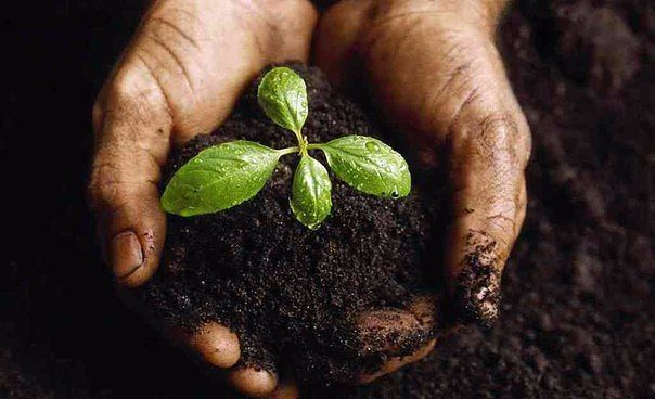 5 натуральных удобрений для домашних цветов.=========================================  1. Подкормка растения бананами.  Банановые шкурки мелко нарезают и высушивают. При пересадке растений насыпают слоем или просто перемешивают с почвой.  Можно воспользоваться еще одним способом. Высушенные шкурки измельчают в кофемолке. Получается темно-коричневый порошок, который можно подсыпать перед поливом в горшок с растением, либо разводить с водой и использовать в качестве жидкой подкормки.  Такая…