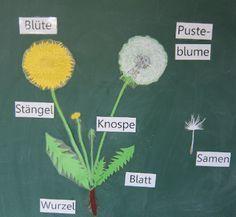 Sachunterricht in der Grundschule: Löwenzahn Tafelmaterial