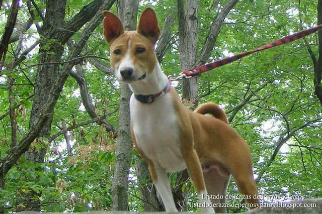 Listado de Razas de Perros y Gatos. Todos los tipos...: Raza de Perro Basenji, Congo Terrier o Perro del C...
