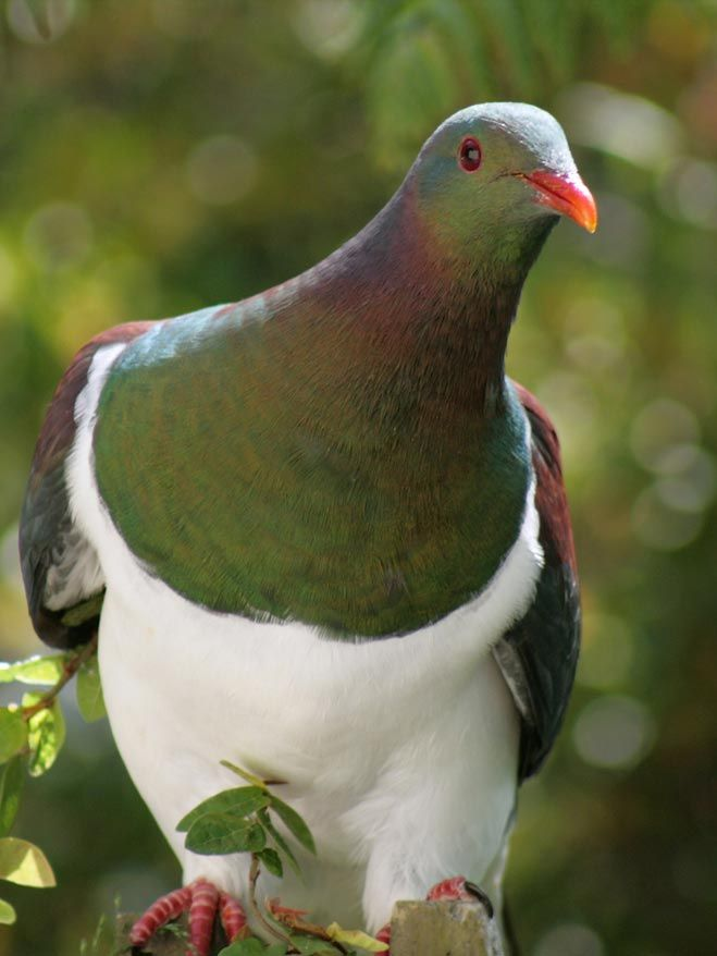 Kereru. New Zealand native wood pigeon. These birds stuff themselves with berries until they are so heavy that they are almost unable to fly.