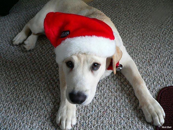 Labrador branco com touquinha do papai Noel