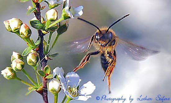 Biene Andrena flavipes ~ Jede Biene ist ein fleißiges Insekt. Ob sie nun im Staat lebt oder solitär. Hier eine Sandbiene bzw. Erdbiene Andrena flavipes (Männchen) im Anflug auf Sauerkirschblüten. Die Weibchen graben Niströhren und legen darin Nistkammern an, die sie mit Pollen und einem Ei gefüllt verschließen. Sandbienen bzw. Erdbienen (Andrena) leben solitär und benötigen keine Nisthilfen.