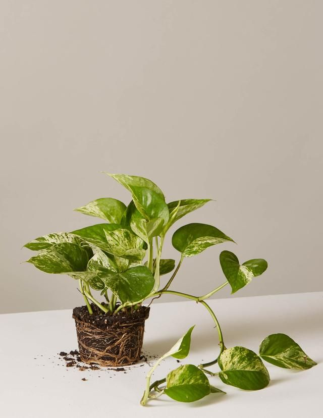 Pothos Marble 4 Botany Hanging Plants Best Indoor Hanging Plants Pothos Plant