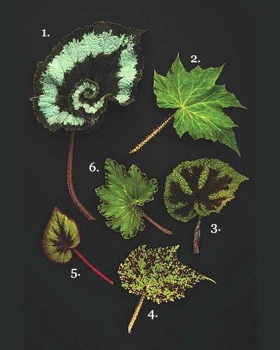 1. ) B. Escargot  2. ) B. ricinifolia  3. ) B. 'Iron Cross'  4. ) B. 'Marmaduke'  5. ) B. 'Fire Flush'  6. ) B. 'Erythrophylla'.  (Photo by: Ingalls Photography) Lacera DeWilde