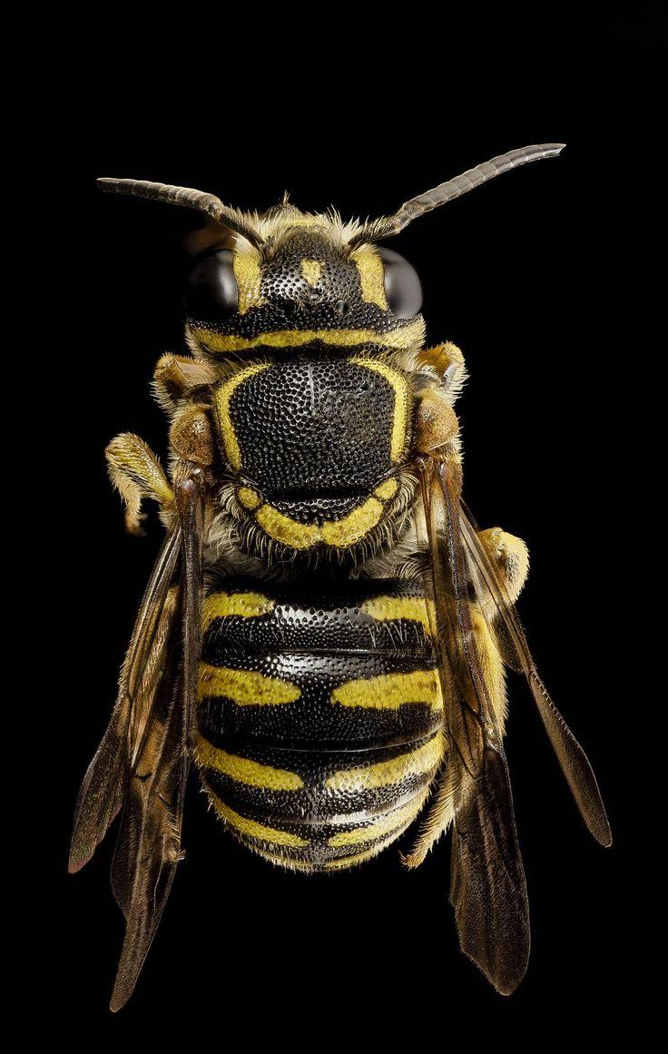 USGS Bee Inventory and Monitoring Lab: Paranthidium jugatorium.