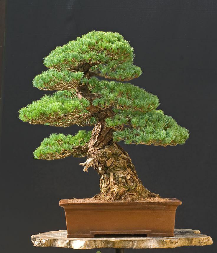 743 besten bonsai bilder auf pinterest bonsai pflanzen. Black Bedroom Furniture Sets. Home Design Ideas