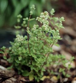Put Marjoram around every room of your house for protection from negativity and evil intent.   Make a Tea and drink for love, happiness, healing, health, money, peace, protection, sleep, joy, wishes, and psychic enhancement.  Use  in a bath by placing a mesh bag under the tap water for love and peace.  Burn over a burner for help in accepting life changes.  Carry it in a sachet to protect against evil, and add to food to share with your object of affection to strengthen love.