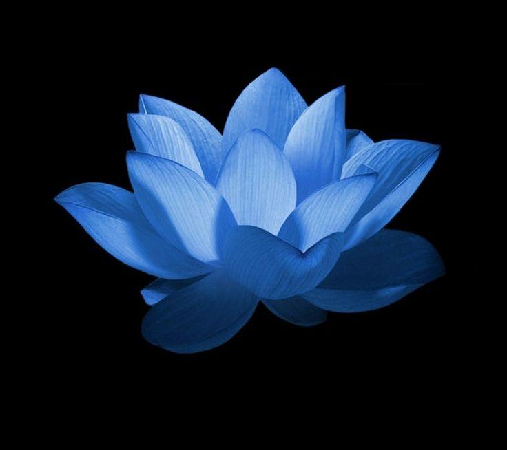 iphone 6 wallpaper blue flower