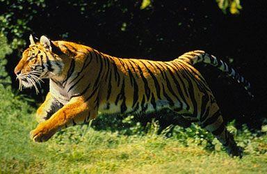 A Tiger Chasing Prey Tigers Pinterest Tigers And A Tiger