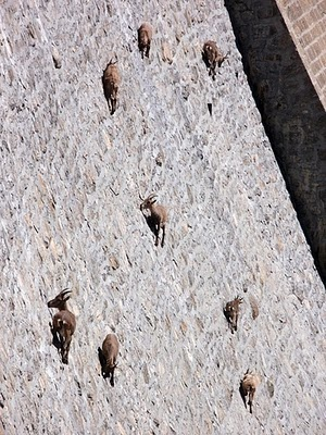 ibex (wild goats) on the wall of the diga del cingino dam in italy eating lichen and licking salt