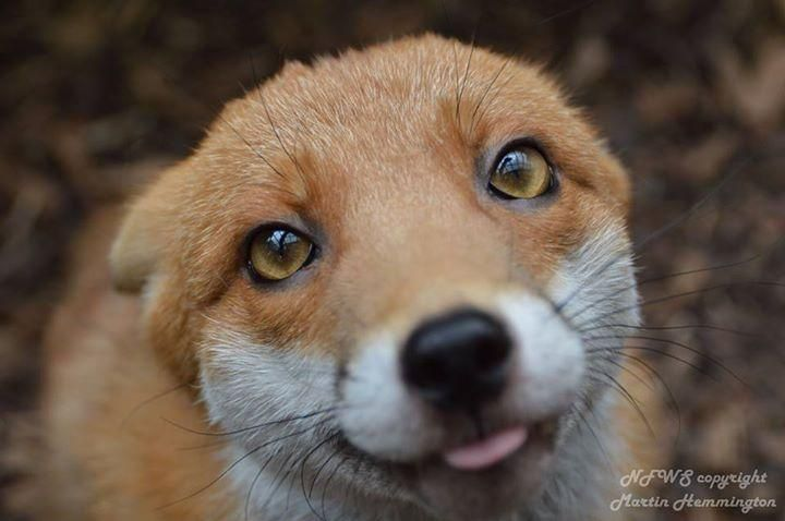 """""""Pudding"""" is a resident fox at the National Fox Welfare Society. He is too friendly to be released back to the wild."""
