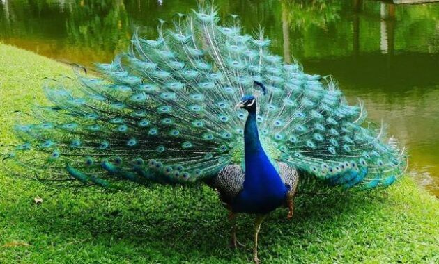 Mimpi menangkap burung kutilang togel