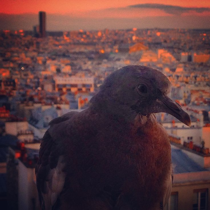 Pigeon : une mémoire d'éléphant ? | Life is a DIY