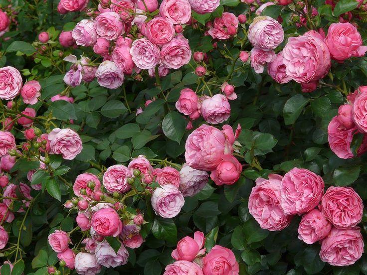 Free stock photo: Rose, Pink, Rose Flower, Roses - Free Image on Pixabay - 8219