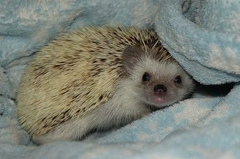 Available   West Coast Hedgehogs   Baby hedgehogs for sale in Oregon