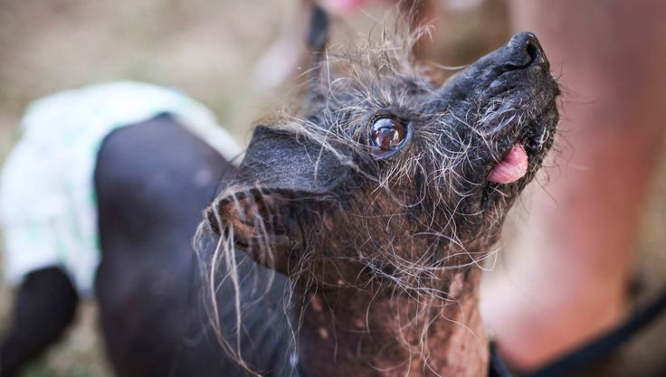 The Sweet Dogs Behind the World's Ugliest Dog Contest at the Sonoma-Marin County Fair