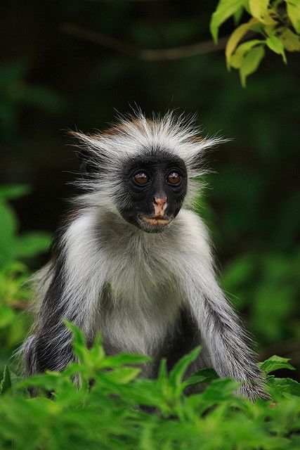 Africa | Found only on Unguja, the main island of Zanzibar, the Red Colobus is…