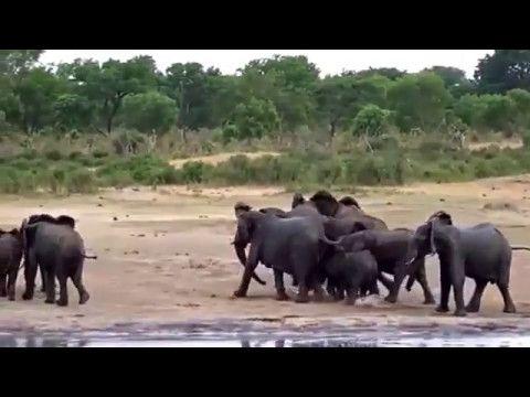AMAZING  AFRICAN  DANCING  AND  SAVANA