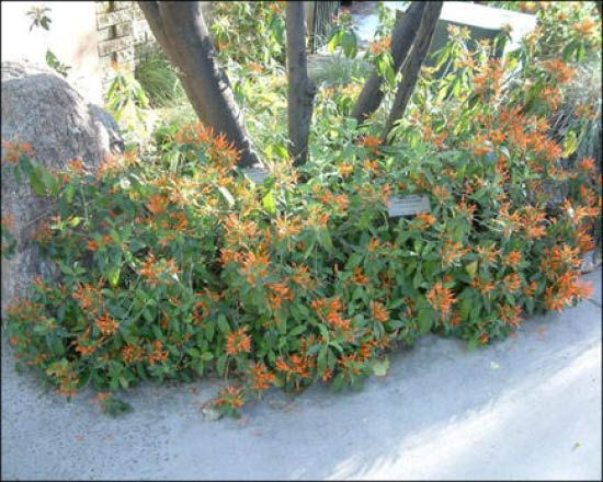 Mexican Honeysuckle For Sale Arizona S Best Shrubs
