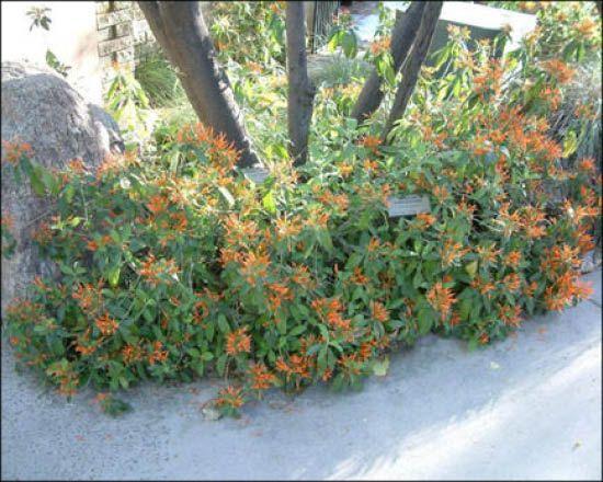 Mexican Honeysuckle For Sale Arizona S Best Shrubs