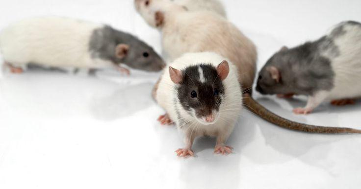 Cómo hacer cebo de ratas casero para trampas. Las plagas constituyen muchos problemas en el jardín y hogar. Una plaga que ha causado muchos problemas son las ratas, roedores portadores de enfermedades y parásitos que pueden y atacarán a los humanos, también conocidos por atacarlos directamente, así como las casas que éstos han construido. Pueden comprometer la estructura de la casa e incluso ...