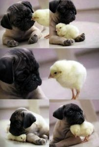 Pug Puppies: History, Types, Temperament, Care, and How to's