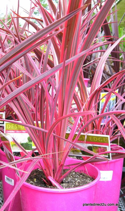 Cordyline Electric Pink - For the new garden along back fence