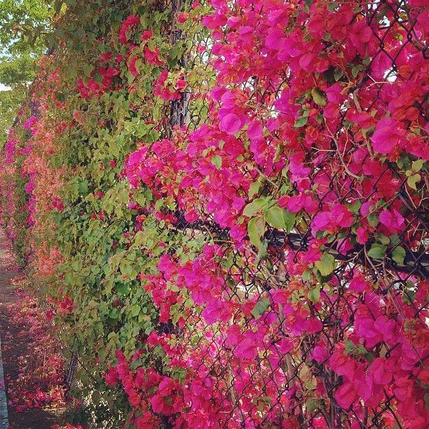 LA chain link fence  Flora  Cottage garden plants Chain link fence Chain link fence cover