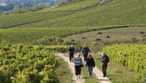 Balade oenotouristique à travers le coteau de Corton et les vignes de Ladoix (5 km). 5 escales pour découvrir plats régionaux accompagnés des vins produits sur Ladoix.