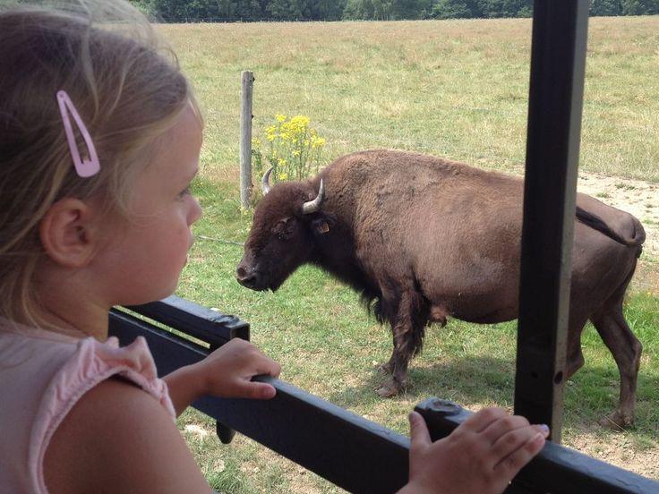 Bal country, découverte d'un élevage de bisons, championnat d'équitation western, la Creuse se met aux couleurs de l'Amérique pour Pentecôte