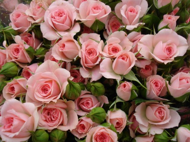 (9F)ροζ τριαντ.