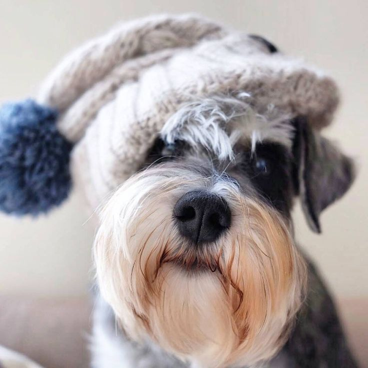 See this Instagram photo by @schnauzerworld • 4,585 likes
