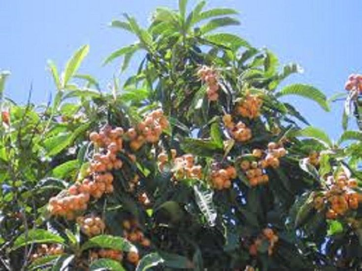 4 Live Loquat Japanese Plum Trees with Pots and Growing Instruction Cold Hardy | eBay
