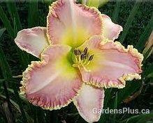 Enchanted April daylily
