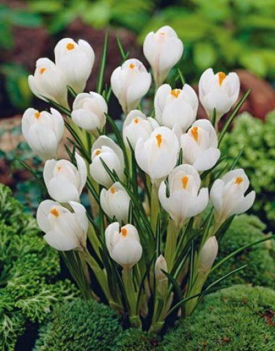 Nagyvirágú krókusz - FEXIN Virághagyma Webáruház virághagymák, virághagyma rendelés, virághagyma, holland virághagyma, virág, gumós virágok, hagymás virágok, tavaszi virágok, nyári virágok, őszi virágok, különleges virágok, kerti virágok, cserepes virágok, dughagyma, tulipán, tulipánhagyma, tulipánok, nárcisz, amarillisz, díszhagyma, jácint, krókusz, virághagyma, virághagymák