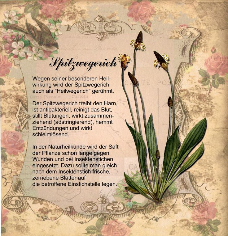 Spitzwegerich-nc.jpg (1705×1772)