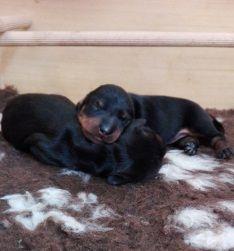 cucciolo bassotto nero focato canis formula