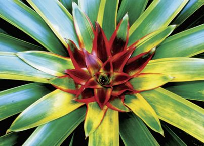 41 best bromeliads images on pinterest