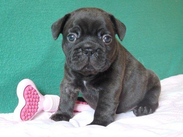 Francia bulldog kan kölykök törzskönyvvel, Érd [Pepita Hirdető]