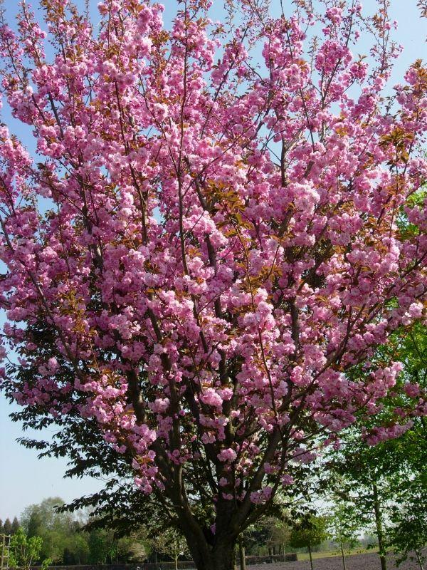 25 beste idee n over japanse boom op pinterest japanse esdoorn japanse esdoorns en dwerg bomen - Kwekerij verf ...
