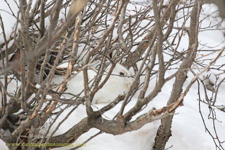 Lepre variabile tra gli ontani  #myValsusa 13.03.17 #fotodelgiorno di Dante Alpe