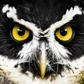 #Eyetoeye #photo #competition #heat02 #Top30 #vote #safarious by Michael Gallagher #owl #yelloweyes