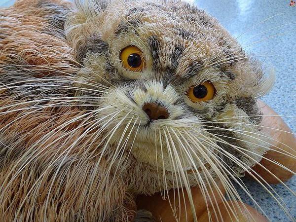 Красноярский учитель за 4 года смастерил кота-манула из миллиона кедровых стружек творчество, талант, животные, природный материал, красота, поделки-самоделки, длиннопост