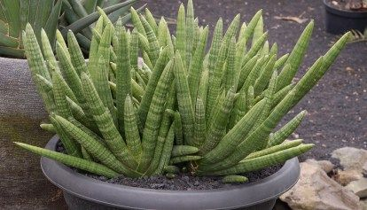 Sansevieria cylindrica (cylindrical snake plant) care & info