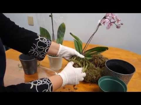 How to care for orchids after blooms fall - YouTube